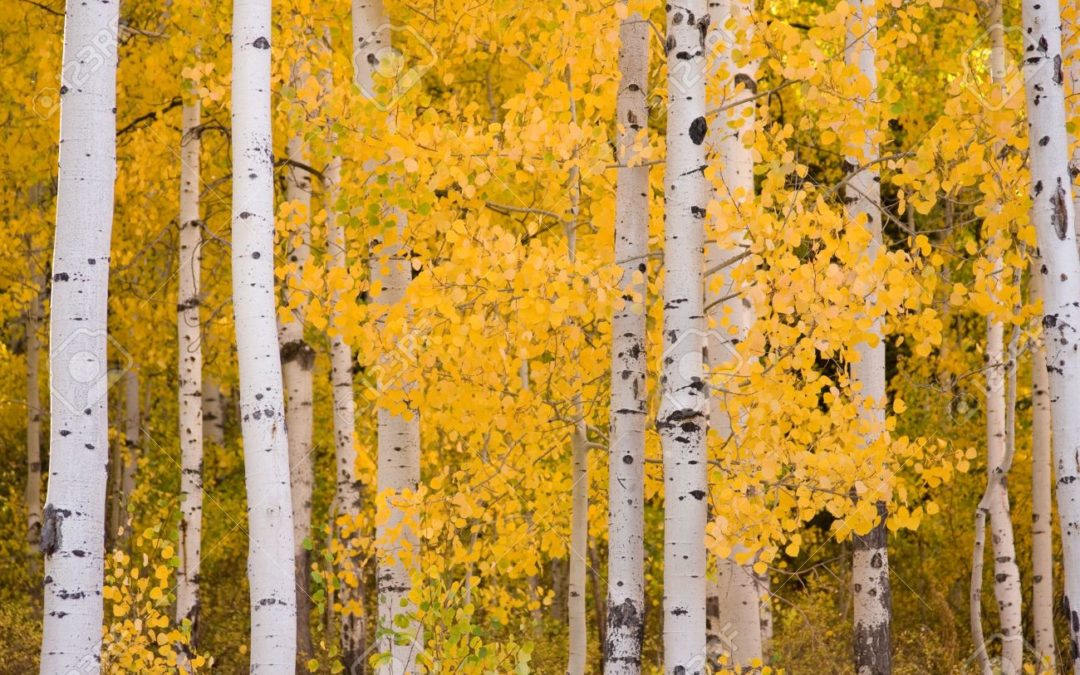 Fun Facts About Aspens